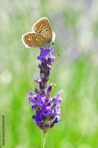 Foto op Canvas Lavendel Papillon Argus sur lavande