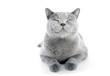 British Shorthair cat isolated on white. Smiling