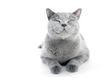 British Shorthair cat isolated on white. Smiling