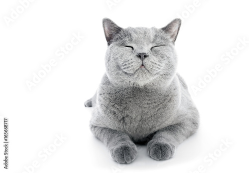 British Shorthair cat isolated on white. Smiling Poster