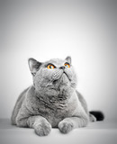 British Shorthair cat isolated on white. Looking above - 165668971