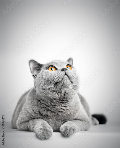 British Shorthair cat isolated on white. Looking above
