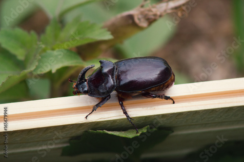 Rhino beetle on wooden bench - insect in garden