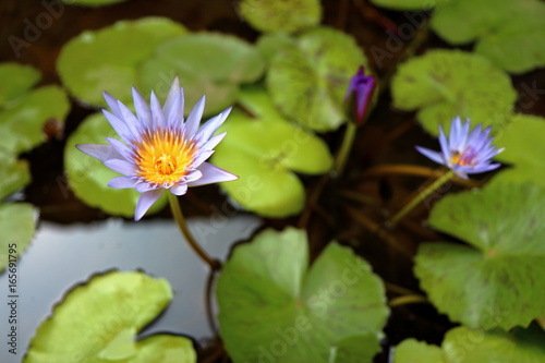 Water lilly background Poster