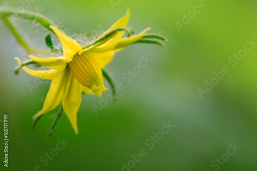 Tomato Flower isolated on green.