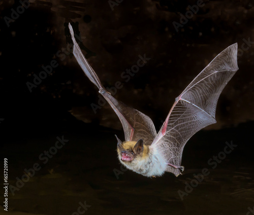 Poster Arizona myotis bat in flight, up close