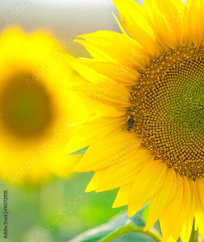 Foto op Aluminium Oranje Sunflower field landscape