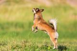 chihuahua-pekinese hybrid jumps on the meadow