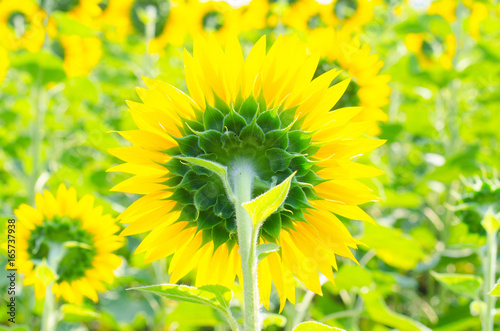 Field of bright sunflowers, summer landscape.