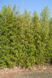 Young bamboo tree growing in the field