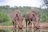 African Warthog (Phacochoerus aethiopicus) drinking at waterhole, Zululand, Kwazulu Natal - 165767319