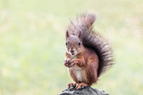 young squirrel sitting with nut on park bench on blurred green background