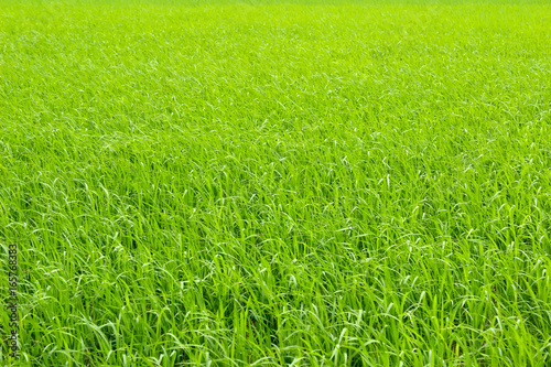 Poster Lime groen paddy field