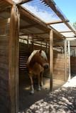 ritratto di un cavallo di razza avellinese fermo sotto una tettoia di legno in un paddock