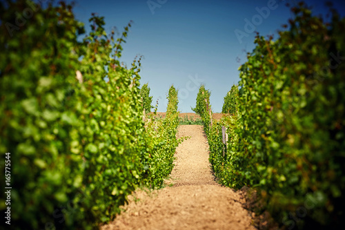 green grape plantation
