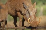 WARTHOG (Phacochoerus aethiopicus)  drinking at  waterhole, Kwazulu Natal, South Africa - 165784533