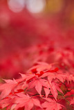 Fototapety Red and Orange Autumn Leaves Background
