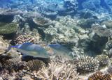 Jack fish (Caranx lugubris) over a coral reef, the Indian Ocean