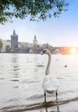 Prague. Swans on the Vltava River and Charles Bridge  on a background..