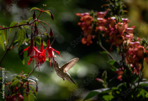 Hummingbird Anny Fuchsia 6224