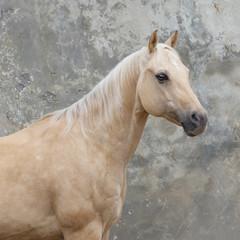 Palomino horse portrait on light background isolated