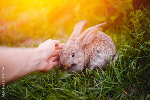 man is ironing Little rabbit on the grass farm of pets. Sunset. concept is a garden pest, rodent.