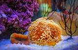 colorful orange anemone and coral in clear quarium