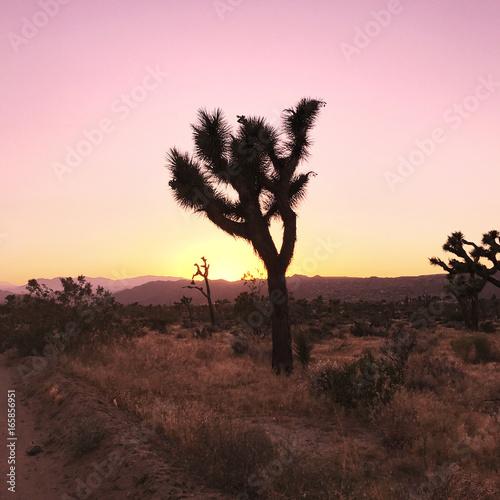 Fotobehang Lichtroze Sunset in the Desert on a Joshua Tree