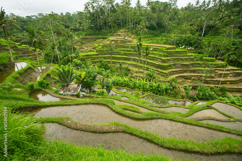 Green rice terraces in Bali island, Indonesia.