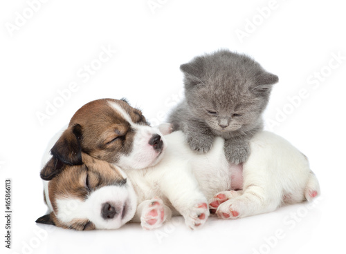 Poster Kitten on a group of sleeping puppies Jack Russell