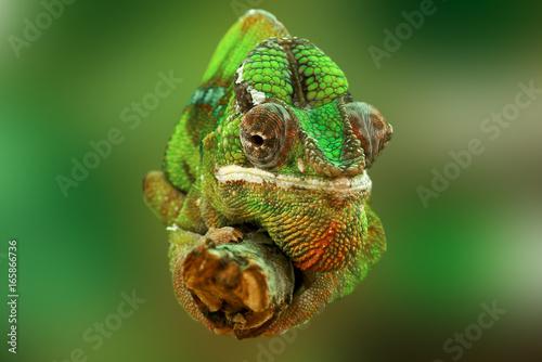 Plexiglas Kameleon Chameleon