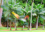 Palm oil plantation. Agriculture in tropical climate. Sustainable development and renewable resources theme. - 165889722