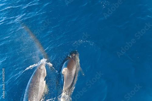 Fototapeta Dolphins swimming in the ocean, New Zealand