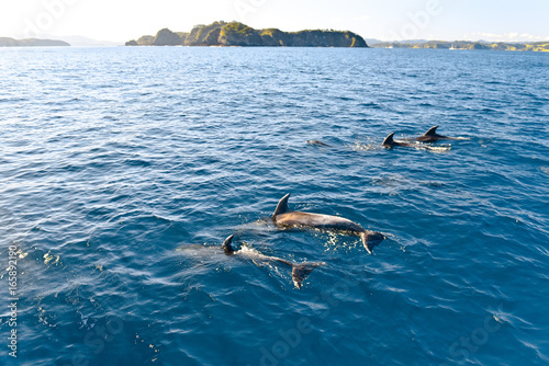 Dolphins swimming in the ocean, New Zealand Poster