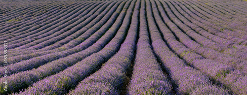 View of lavender field near Plovdiv (panorama), Bulgaria