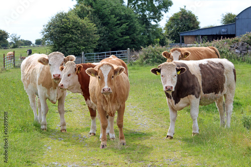 Bulls in a field, Ireland