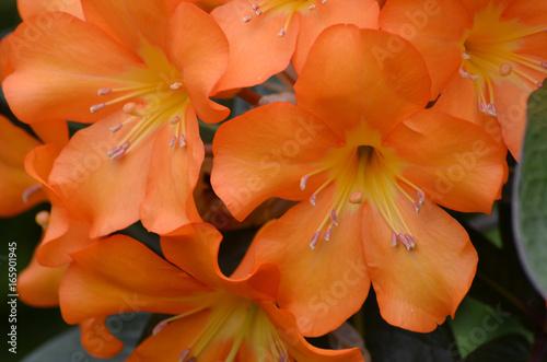 Orange Rhododendron Flower Blossom Up-Close