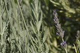 Lavender in summer, Colorful photo of lavender with green background, Selective focus with shallow depth of field