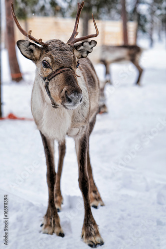 Reindeer in farm at winter Lapland Northern Finland