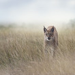 Young Lynx In the Grassland