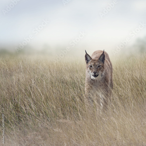 Young Lynx In the Grassland - 165915797