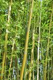 Bambous, verts et jaunes au jardin en été