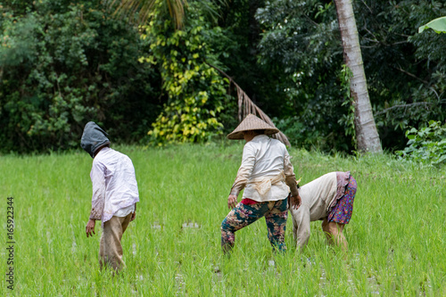 people while growing and farming rice field in bali