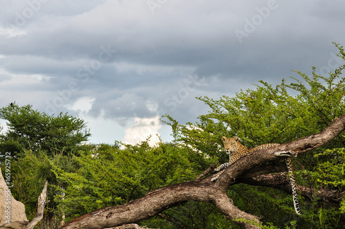 Papiers peints Panthère Leopard Branch