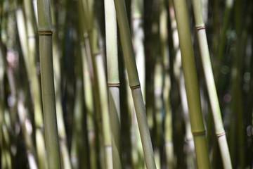 Bambous verts et gris au jardin en été