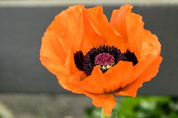 big orange single poppie outside at sunny day