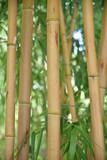 Bambous jaunes au jardin en été