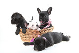dogs  in a basket isolated on a white background