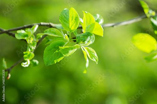 Staande foto India branch of an apple-tree