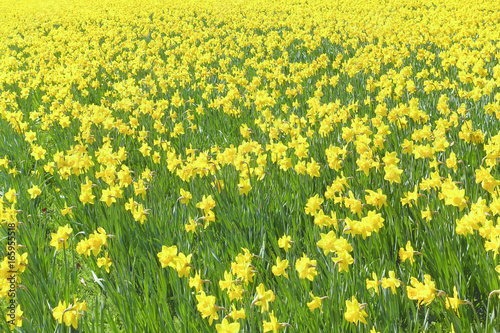 Bright yellow colored group of Narcissus flowers growing in a large field at springtime.